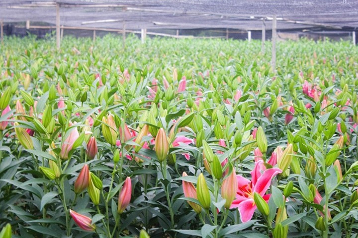 Nông dân Tây Tựu rơi nước mắt vì hoa nở sớm
