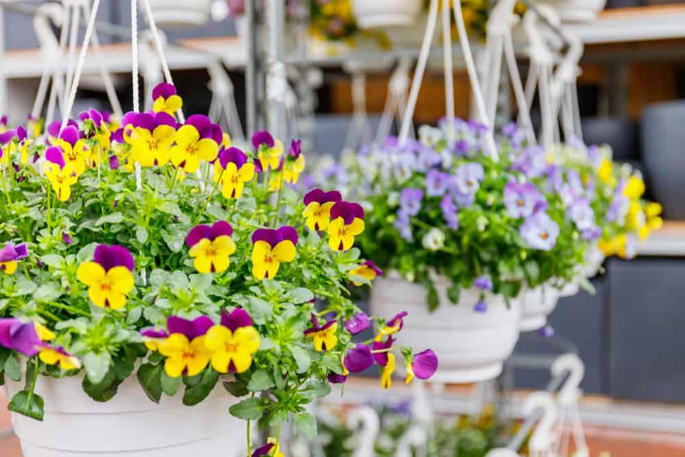 Kỹ thuật trồng hoa Pansy chơi Tết
