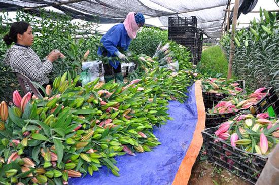 Hoa ly rớt giá thê thảm do nở muộn