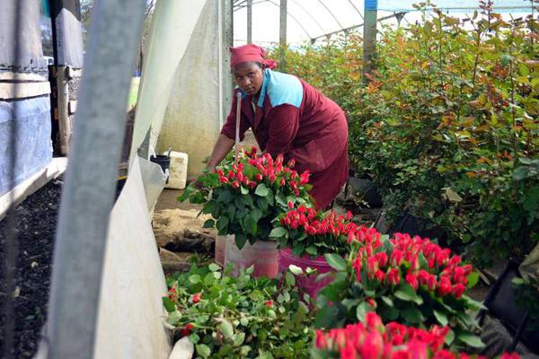 Lô hoa hồng châu Phi đầu tiên đến tỉnh Hồ Nam