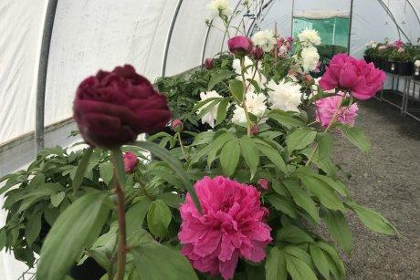 Úc- Cây mẫu đơn được xử lý ra hoa trong điều kiện cận nhiệt đới