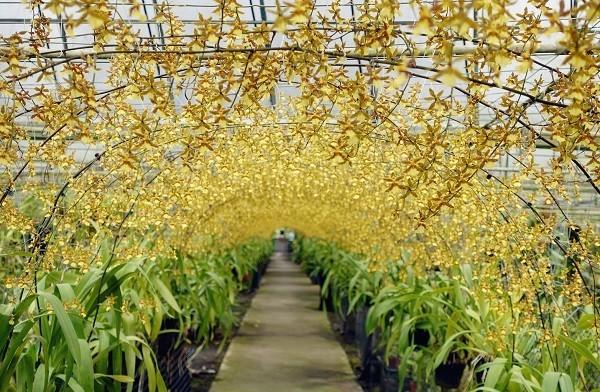 """""""Đường hầm hoa vàng"""" ở Đài Loan hút khách du lịch"""