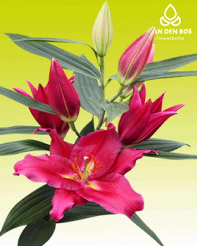 Hoa ly Cabella